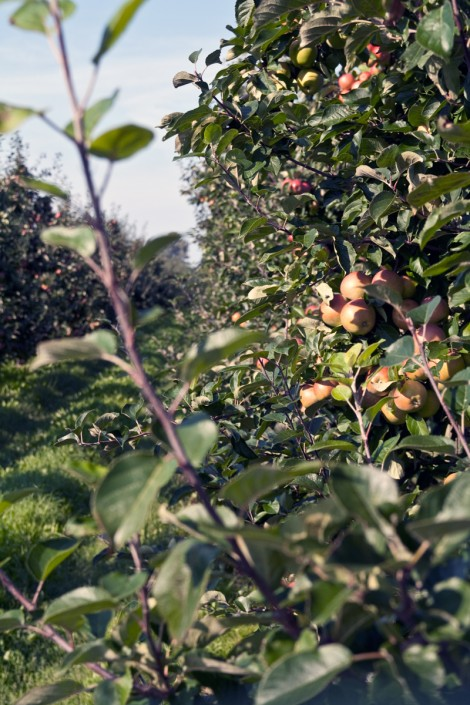 Äppelodling i Kivik